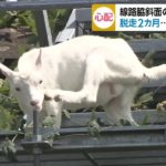 佐倉市の子ヤギがいる京成線斜面の場所はどこ?便乗商品やサービスも?